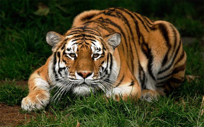 изображения фото тигров