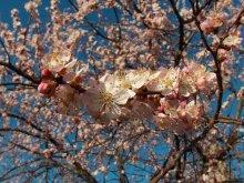 Уже пришла весна... / фото сделал вчера, чувство весны и праздника жизни, жаль, что в Минске такое чудо надо будет ожидать  к маю.. :)