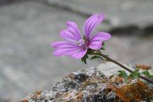 кветачка ў каменным горадзе Будва / Будва 2006
