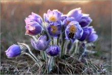 про сон-траву и уснувшего шмеля / сон-трава, с ее появлением начинается настоящая весна. Цветет всего дней 5-7, потом исчезает до следующей весны