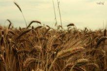 в поле / пшеничное...