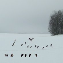 Мираж... / Снимал 25 декабря 2009 ровно через год, после первой встречей с этой стаей. Ближе чем на 300-500 метров не подпускали. На воде не получилось  их снять - заливало тапарат дождем, спрятал его в рюкзак и соответственно прозевал этот момент. Птицы укрылись  на поле. Когда стоят на снегу , то из дали напоминают пингвинов.