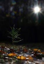 A new life is born / A new life is born (Рождение новой жизни). Молодой побег сосны на поляне в осеннем лесу.