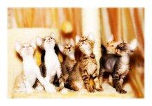 / Котята породы Девон рекс, семейный портрет :)