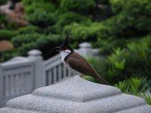Пернатый Император Городского Сада / Китайская хохлатая синичка в Городском саду Nan Lian Garden. Гонконг, май 2010