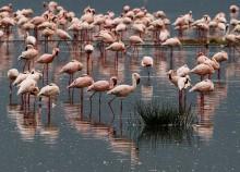 Акварель! / Кения. Озеро Накуру. Фламинго