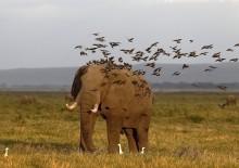 Слоноаэропорт! / Кения. Амбосели.