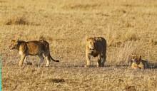 Мама, мне лениво охотиться! / Кения. Масай Мара. Львы. Август 2010 г.