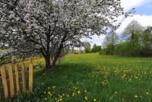 Одуванчиковая  жизнь / краски весны скрашивают вид наших деревень