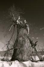 из жизни деревьев... / дерево доживает свой век рядом с домом престарелых в бывшей усадьбе Римских-Корсаковых. Упавшая верхушка давно распилена на дрова, которые почему-то никому не пригодились и лежат, покрытые зеленым мхом, рядом, у полуразрушенной стены. Лишь одна ветвь по-прежнему тянется к небу, к солнцу...
