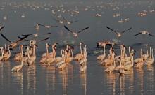 Краски озера Накуру! / Фламинго. Кения. Озеро Накуру. Июль 2010 г.