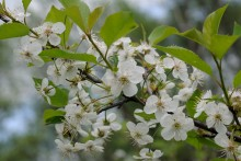 Цветение вишни / ******