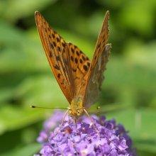 Бабочка #3 / на Buddleja