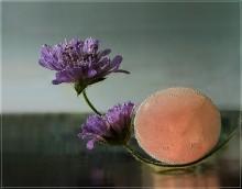 Скабиоза... / Сентябрьский полевой цветочек с названием скабиоза, и всякое другое, для пущего эффекта...