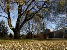 Ива в парке. / Подмосковье. Ноябрь .Солнечный день.