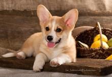 Вельш Корги Пемброк / студийный портрет щенка 2,5 месяца