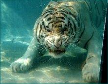 Подводная бенгальская киса / SixFlags Marine World Vallejo