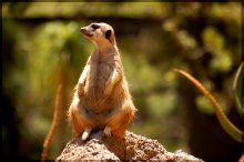 Сурикаты / Wild animal park. San Diego