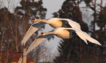 под прикрытием / пара лебедей в марте, в период гнездования