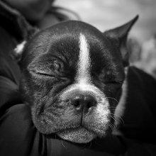 И пусть весь мир подождет... / На выставке собак маленький щенок уснул на руках у хозяйки. Я не смог пройти мимо его смешной мордахи))