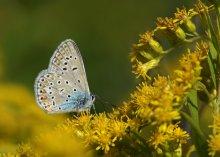 Голубянка / Бабочка Голубянка