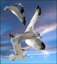 Three seagulls in flight / Three seagulls in flight