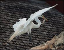 Улов / Большая белая цапля (Ardea alba) Engl. Great white egret, White heron, Common egret