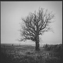 Старое дерево.. / дерево, осень, природа, село,6x6, b&w, medium format, pentacon six