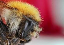 пчела / пчела макрос