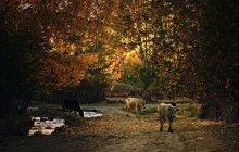 Вечер с коровами / и лужами