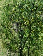 dandelion tree / адуваны, такие адуваны