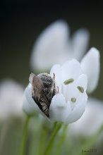 СОНЯ / Дикая пчелка спит в цветке дикого чеснока.