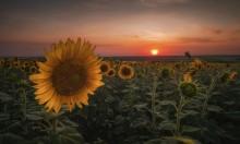 Солнечный цветок / Донбасс.Поле подсолнечника.