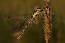 Утренняя / дачные... утренние... съёмка с рук  на брюшке стрекозы личинки клеща-краснотелки http://hrenovina.net/7676