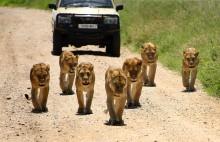 Фотоохота в Танзании. / Оказалось, что в Танзании отдыхал Батька, я успел сфотографировать его машину с охраной, а потом мою камеру съели ((