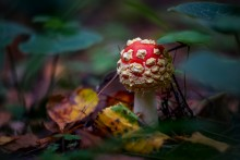Без названия / Мухомор красный (Amanita muscaria) В старину гриб использовался не только для уничтожения мух, клопов и других насекомых, но и как лечебное средство.
