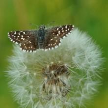 Мягкая посадка... / Бабочка и одуванчик. Макросъемка.