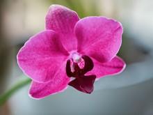 Февраль. Зацвели орхидеи / Орхидея из горшка