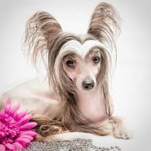 Без названия / Моя любимица Ваниль. Порода Китайская хохлатая собака.
