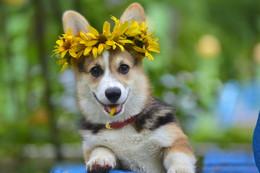 Природа и животные. / Конец августа. Собака (девочка), корге, 4 месяца.