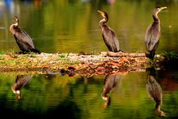 Бакланы на пресноводном озере. / Озеро, осень, бакланы.
