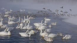 Лебединое озеро / Утро на лебедином озере