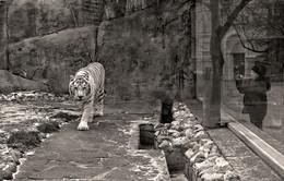 белый тигр / Зоопарк.