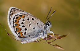 Бабочка голубянка / бабочка