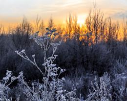 Встаёт заря во мгле холодной... / После оттепели ударил лютый мороз - и все травы и кусты покрылись друзами ледяных кристаллов. Лепота, однако!
