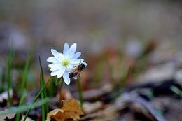 Апрель. / Сбор нектара в апреле с подснежника (ветренница).