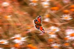Полет весны / Бабочка и ромашки