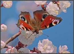 / Дневной павлиний глаз на абрикосе