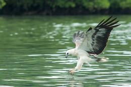 Eagle / Охотится на рыбсу