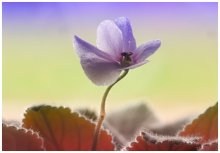 Аленький цветочек / Canon 400D + EOS->M42+2x+Юпитер 37А(135/3,5)